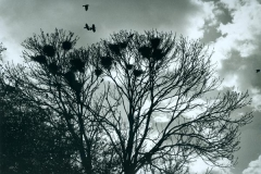 Crows_web