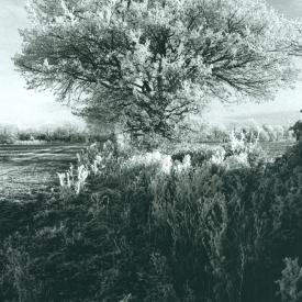 Tree_frost